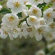 """Apple Blossom Rain""<br /> <br /> White apple blossoms in spring."