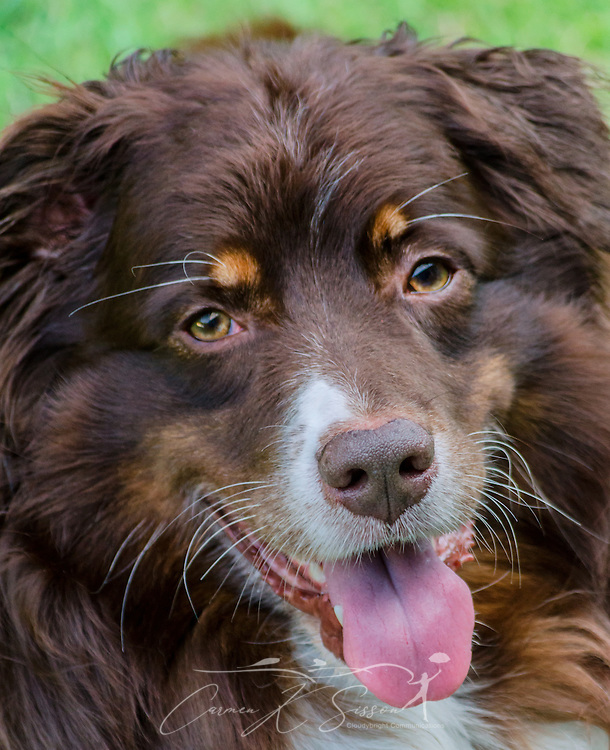Cowboy, a six-year-old, red tri Australian Shepherd, enjoys an evening outside, Aug. 21, 2014, in Coden, Alabama. (Photo by Carmen K. Sisson/Cloudybright)