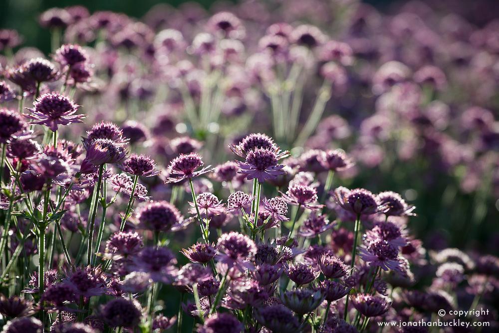 Astrantia major 'Roma'. Masterwort, Pincushion flower