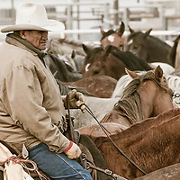 horse boss mouse hall sorts though bucking horses before the tal michael memorial rodeo, browning, montana, blackfeet reservation,