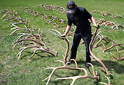 PRICE CHAMBERS / NEWS&amp;GUIDE<br /> Volunteer Wayne Boyd tries to find a perfect match among hundreds of elk anters collected on the National Elk Refuge this year. A group of volunteers gathered Saturday morning to sort and pair antlers in preparation for ElkFest and the Boy Scout Elk Anter Auction on Saturday.