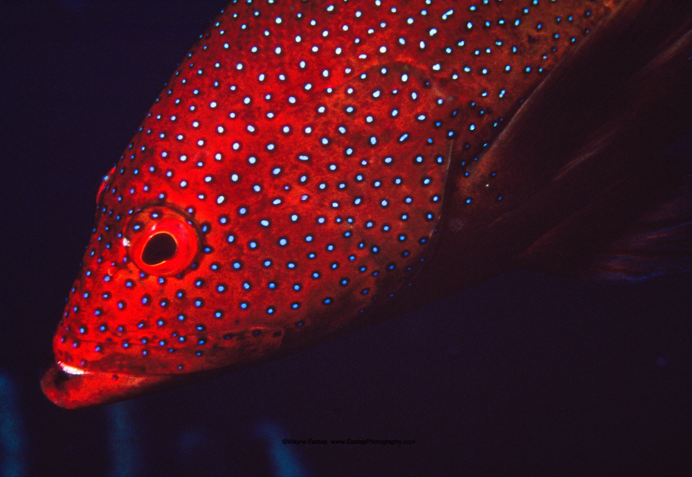Coney (Epinephelus fulvus). Little Cayman