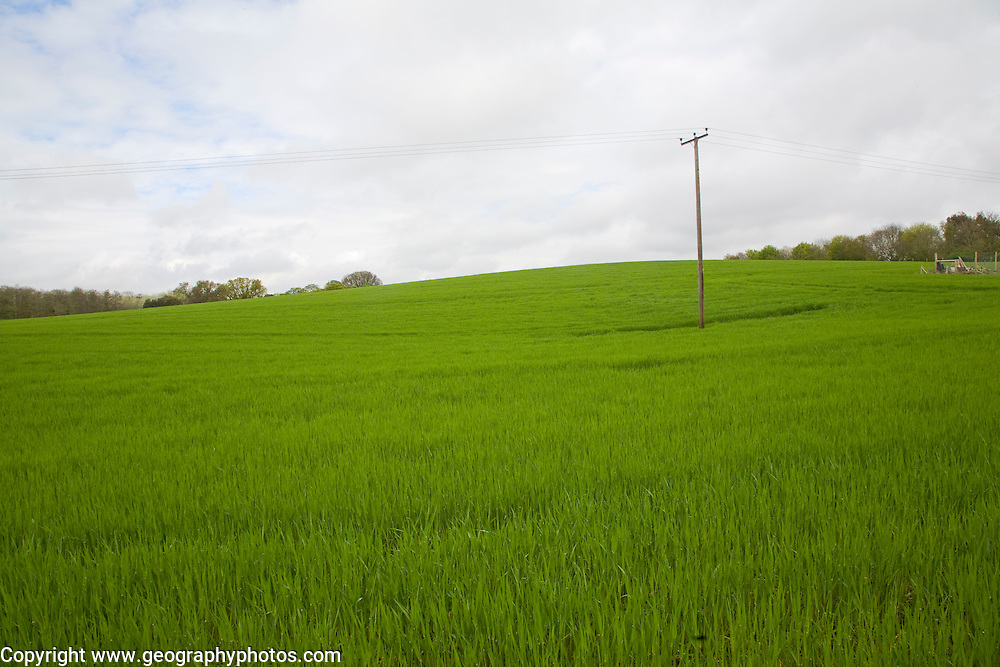 Green field of young barley growing on hillside, Shottisham, Suffolk, England