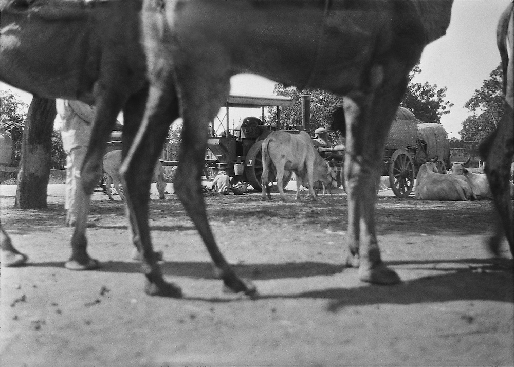 Traction Engine/Camels Legs, Udaipur, India, 1929