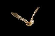 A long-legged bat (Myotis volans) in flight at night. Coconino National Forest, Arizona.