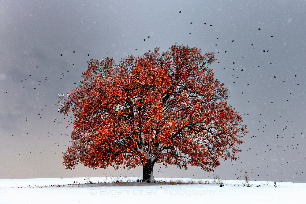 Red tree in a snow meadow