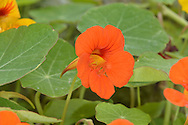 Nasturtium - Tropaeolus majus. Trailing annual, popular as a garden plant in Brtain, and originally from South America. Leaves are circular, with radiating pale veins; borne on long stalks. Flowers are 3-6cm across, with 5 petals, typically orange but also variegated yellow; has a long nectar spur. Fruits are 2cm across and 3-lobed.
