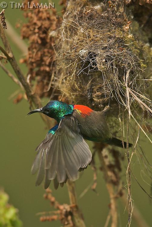Northern Double-collared Sunbird (Cinnyris reichenowi) male  at nest..Bioko Island, Equatorial Guinea.