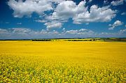 Canola blossoms<br /> Bruxelles<br /> Manitoba<br /> Canada