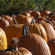 Pumpkin field for halloween
