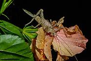 Mantids & Grasshoppers