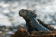 Marine Iguana (Amblyrhynchus cristatus) <br /> Cerro Dragon (Dragon Hill<br /> Santa Cruz<br /> Galapagos<br /> Ecuador, South America<br /> ENDEMIC TO THE ISLANDS