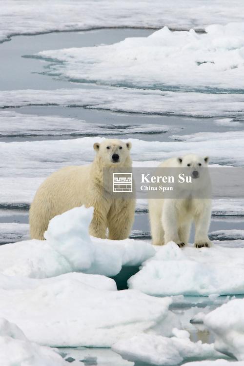 Two Polar Bears on ice, Spitsbergen, Norway