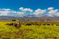 shepherd and his herd in Beeka valley Lebanon Middle east