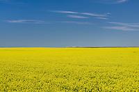 Fields of bright yellow canola blossoms, Alberta Canada