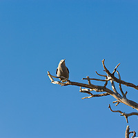 Bird on branch against blue sky at the Grand Canyon, Arizona, USA