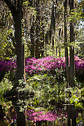 Azaleas blooming in the swamp at Middleton Place Plantation in Charleston, SC. Middleton Place Garden is the oldest formal garden in the United States, dating back to around 1741.