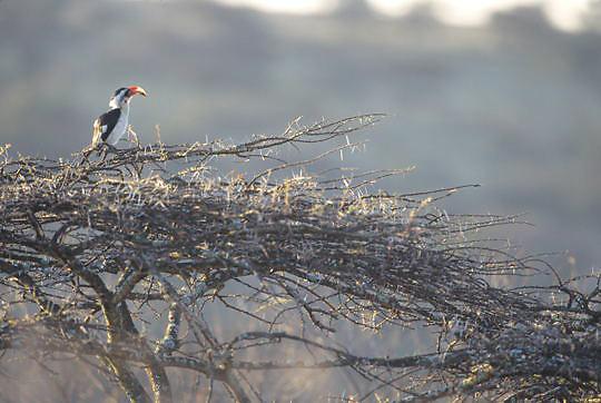 Von der Decken's Hornbill, (Tockus deckeni) Perched in acacia tree. Kenya. Africa.