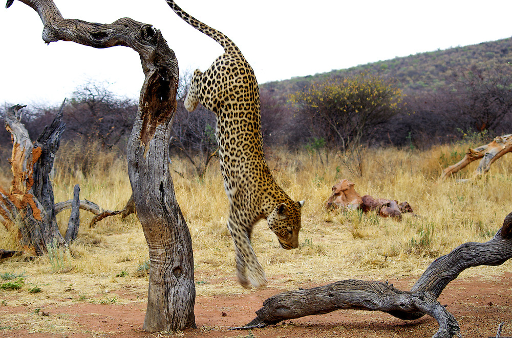 A leopard jumps out of a tree in the Okonkjima AfriCat Nature Reserve.