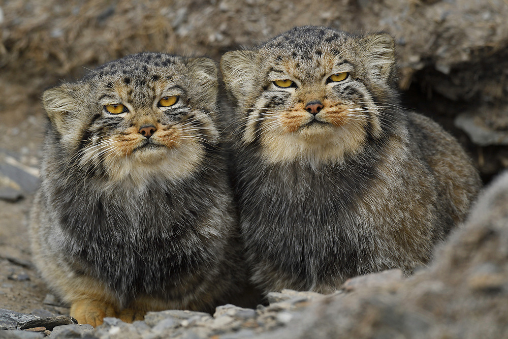 Pallas's cat (Otocolobus manul), also called the manul, Tibetan Plateau 5000 m asl, Qinghai, China
