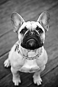 Fawny the French Bulldog's Close Up in Black and White