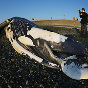 People looking at humpback whale calf (Megaptera novaeangliae) that washed ashore on 3 January 2012 in Odawara, Japan. Measured 6.87 meters long and was male. Cause of death unknown. This humpback whale calf is the third smallest one recorded to date that has stranded or washed ashore in Japan. It is the third deceased calf to have been found in the 2011-2012 breeding and calving season.