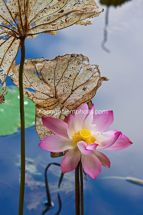 Vietnam Images-flower-lotus-hoa sen -Hoàng thế Nhiệm