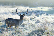 © Licensed to London News Pictures. 02/11/2016. Richmond, UK Deer in the frost in Richmond Park London today 2nd November 2016. much of the country experienced a frost overnight. Photo credit : Stephen Simpson/LNP