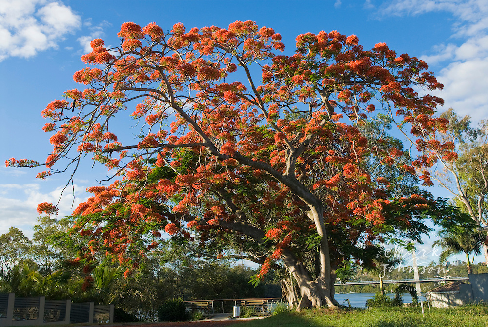 Royal Poinciana trees in bloom, Queensland, Australia