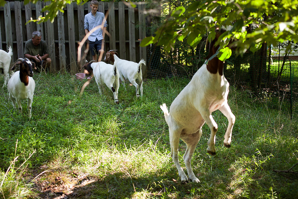 """A goat, of the Boer variety, stands up to reach leafy tree vegetation near a lot-side easement in Chapel Hill, N.C., Thurs., July 22, 2010. Goat owner Jeff Mullins said, """"They prefer leafy vegetation to grasses, so brush clearing is their real specialty.""""..D.L. Anderson for The Wall Street Journal..GOATS"""