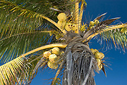Looking Up at Coconut Fruits and Green Leaves of a Palm Tree Against Blue Sky, Tulum, Quintana Roo, Mexico 2007 NR