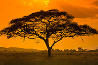 An acacia tree, Serengeti National Park, Tanzania