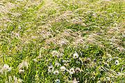 Wildflowrs and wild ornamental grasses in wildflower meadow grassland field in Gloucestershire, UK