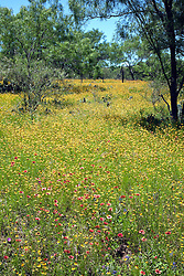 The very rural  Willow City Loop, near both Johnson City and Fredericksburg in the Hill country of central Texas, fills with a variety of wildflowers in spring.  This meadow mixes red-orange Indian Blanket Flower (Gaillardia aristata) and yellow Brown-eyed Susans (Rudbeckia hirta, var. augustifolia) with a backdrop of mesquite.