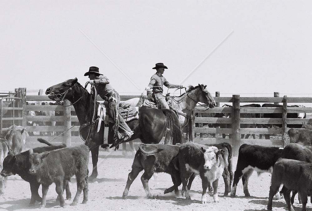 Cowboys herding cattle on a ranch