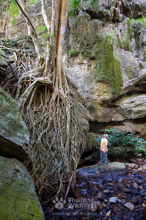 Hiker looking at the roots of a Ficus altissima fig tree at Tham Lot Yai in Chaloem Ratanakosin National Park in Kanchanaburi, Thailand.