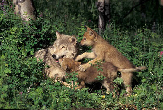 Gray Wolf, (Canis lupus) Mother with young pup at den. Montana.  Captive Animal.