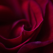 Macro floral image of a red rose.