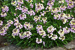 Erysimum 'Plant World Lemon' - Wallflower