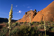 Yucca (Yucca harrimaniae) and slickrock cliffs, Grand Staircase-Escalante National Monument, Utah