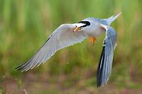 Little Tern flying (Sterna Albifrons), Prypiat River, Belarus