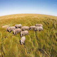Africa, Botswana, Chobe National Park, Aerial view of Elephants (Loxodonta africana) walking Savuti Marsh's wetlands in Okavango Delta