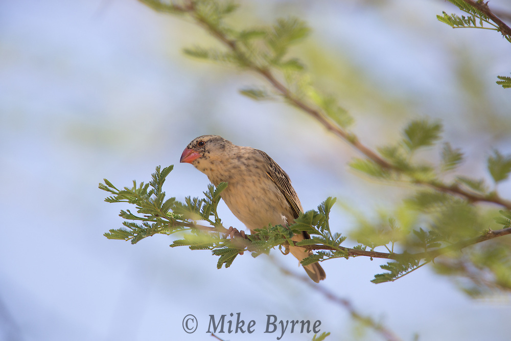 Red-billed quelea at Okakeujo, Namibia.