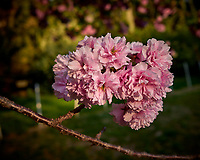 Plum Tree Flowers. Image taken with a Leica CL camera and 23 mm lens