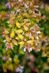 Abelia × grandiflora in autumn. Glossy abelia