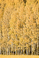 An aspen (Populus tremuloides) 'clone' grows at the edge of a pasture near the Conboy Lake National Wildlife Refuge in Klickitat County, WA, USA.