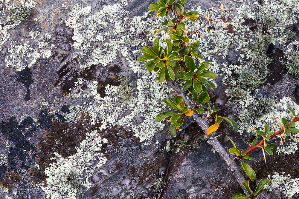 A macro of thorny plant against rocks in Torres del Paine National Park, Patagonia, Chile.
