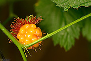 The salmonberry fruit is beginning to ripen.