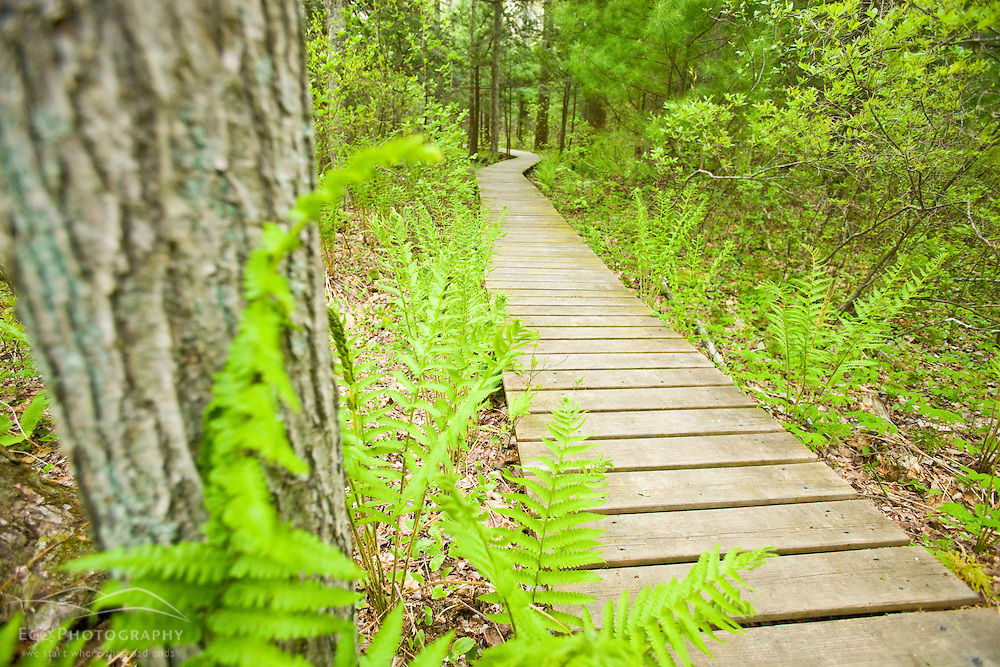 Ferns unfurl next to a boardwalk at the Willowbrook Farm Preserve in Pembroke, Massachusetts.  Owned by the Wildands Trust.