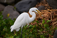 Great Egret (Ardea alba) tosses a small fish in beak to orientate it correctly for swallowing, along edge of  Lake Chapala, Jocotopec, Jalisco, Mexico